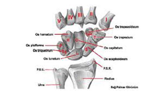 El ve el bileğinin yapısı. Elin anatomik yapısı